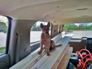 Zivah puppy on top of lumber in suburban