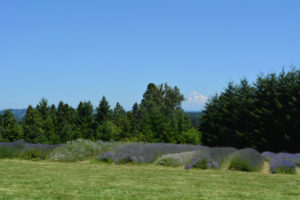 lavender farm with mt hood background image